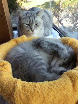 いたずら子猫を怒りながらも一生懸命面倒見ている15歳のおばあちゃん猫 。
